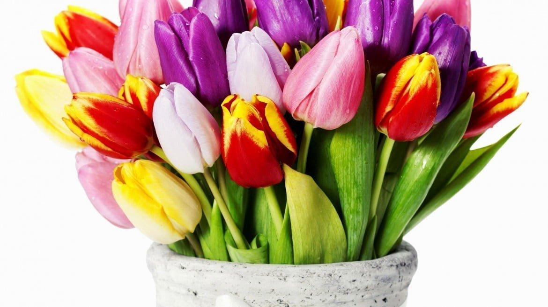 Jak pielęgnować cięte tulipany?